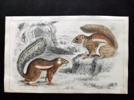 Goldsmith 1851 Hand Col Print. Fire Footed & Hottentot Squirrel 35.